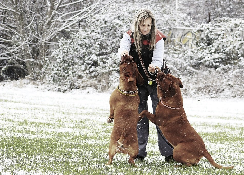mastiffs on the meadow with owner