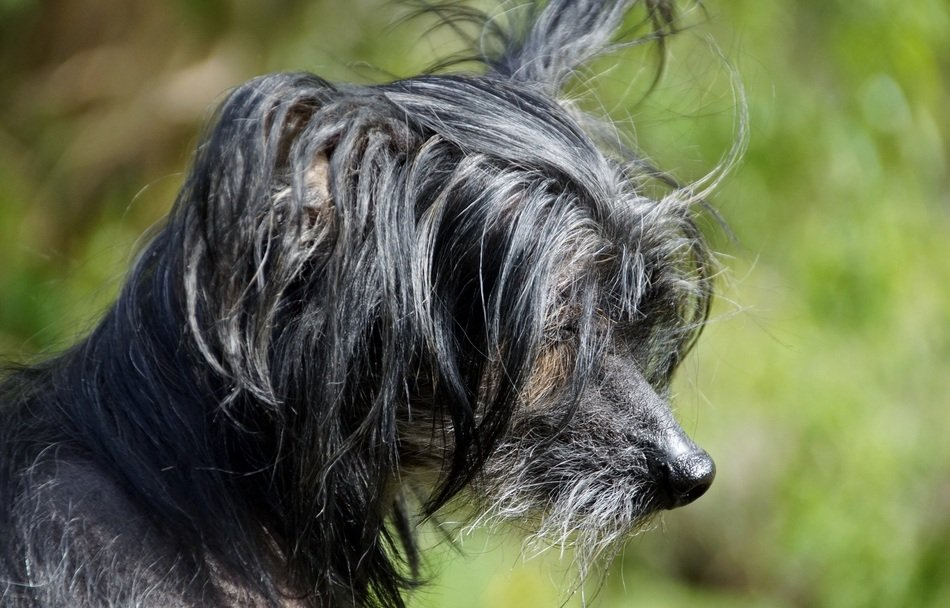 portrait of a chinese crested dog