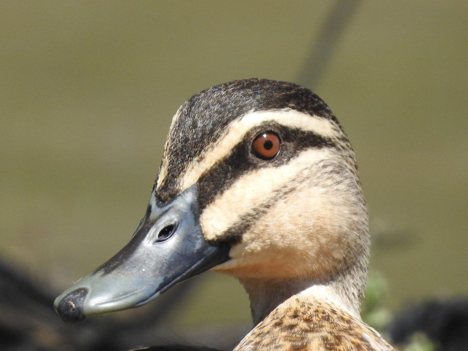 portrait of a duck