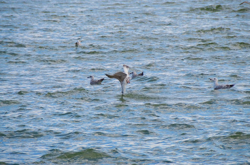 hunting seagulls in the Baltic Sea