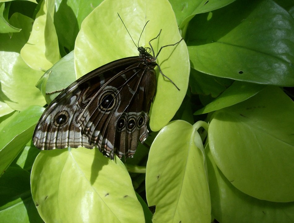 amazing black butterfly on the leaf