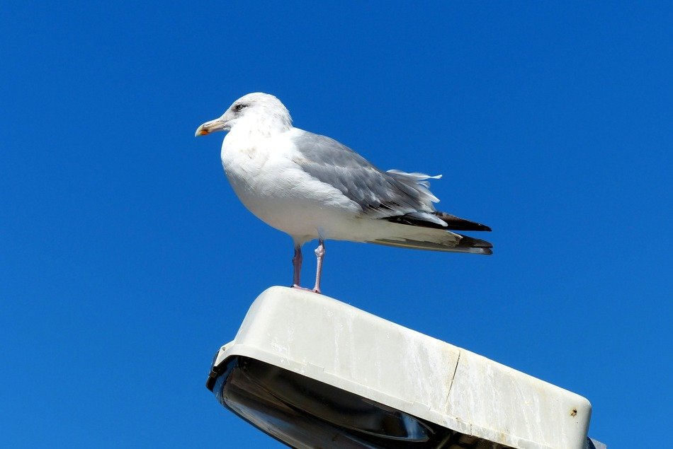 seagull sitting on the street lamp