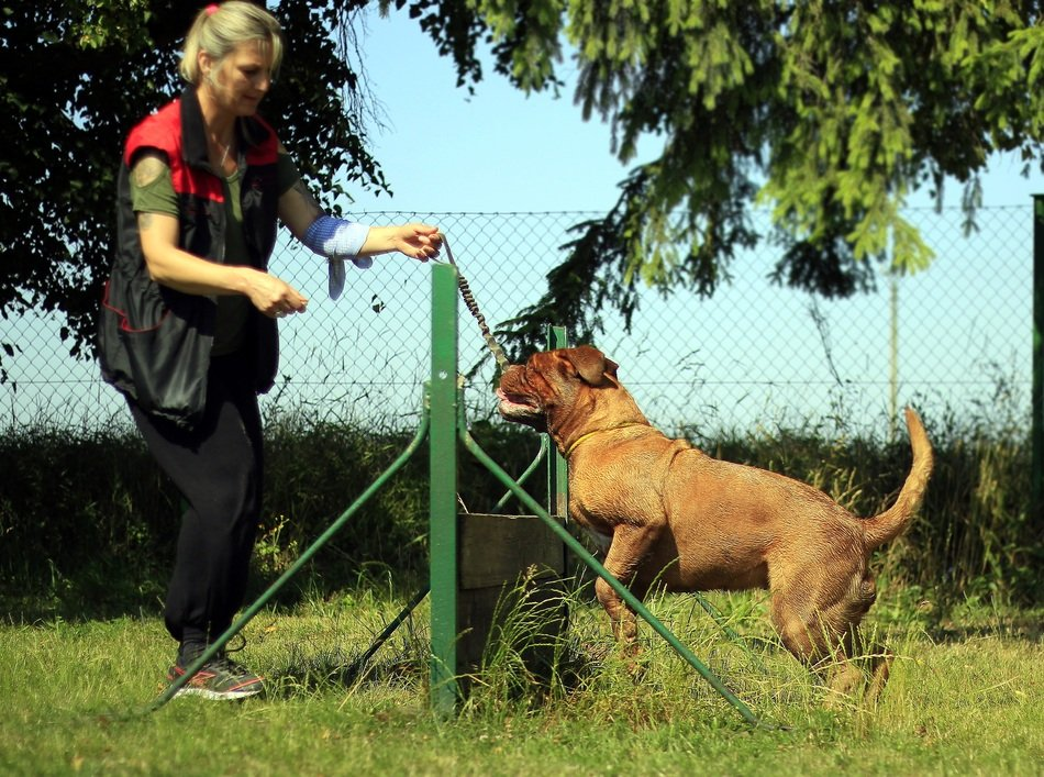 bordeaux mastiff with trainer