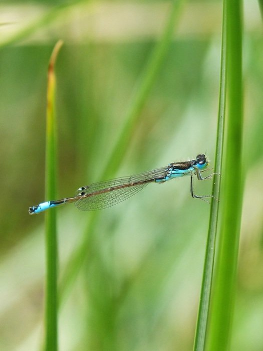 blue dragonfly in wetland