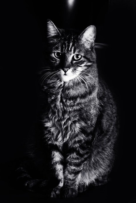 portrait of a domestic cat on the black background