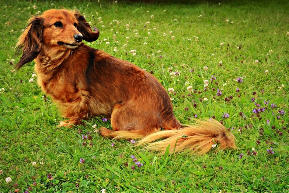 brown domestic dog on the meadow