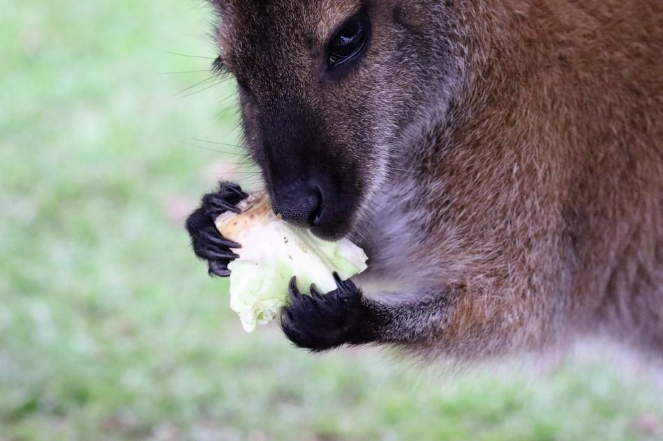 eating cute wallaby