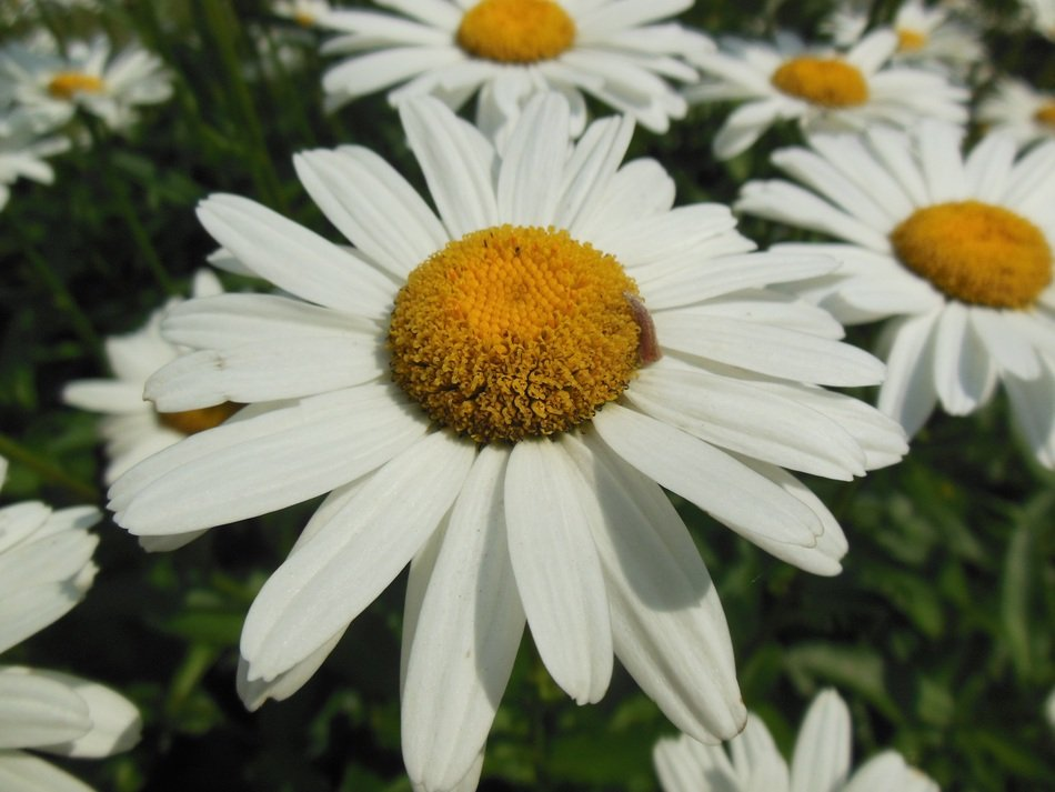 daisy flower with white petals