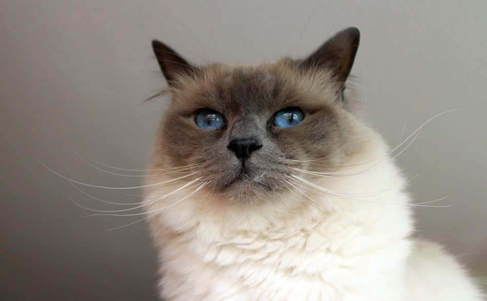 portrait of a sacred birman cat