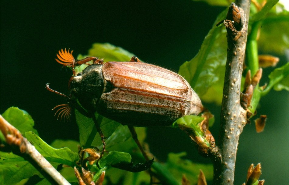may-bug on the tree branch
