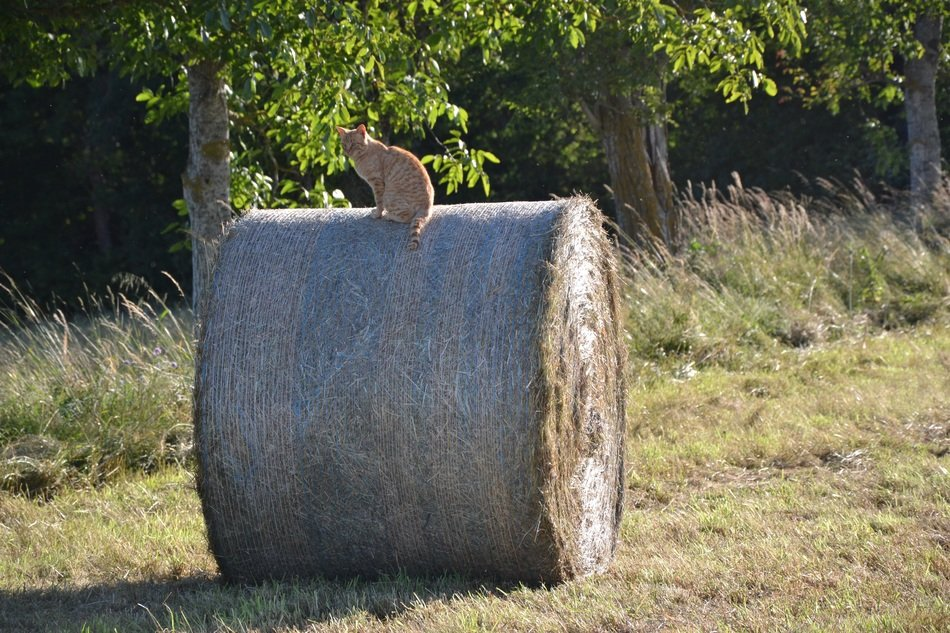 red cat sitting on the straw bale