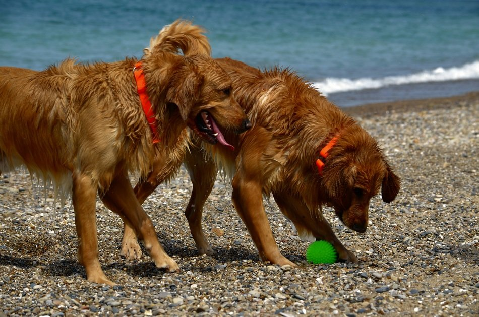 two playful dogs on the beach