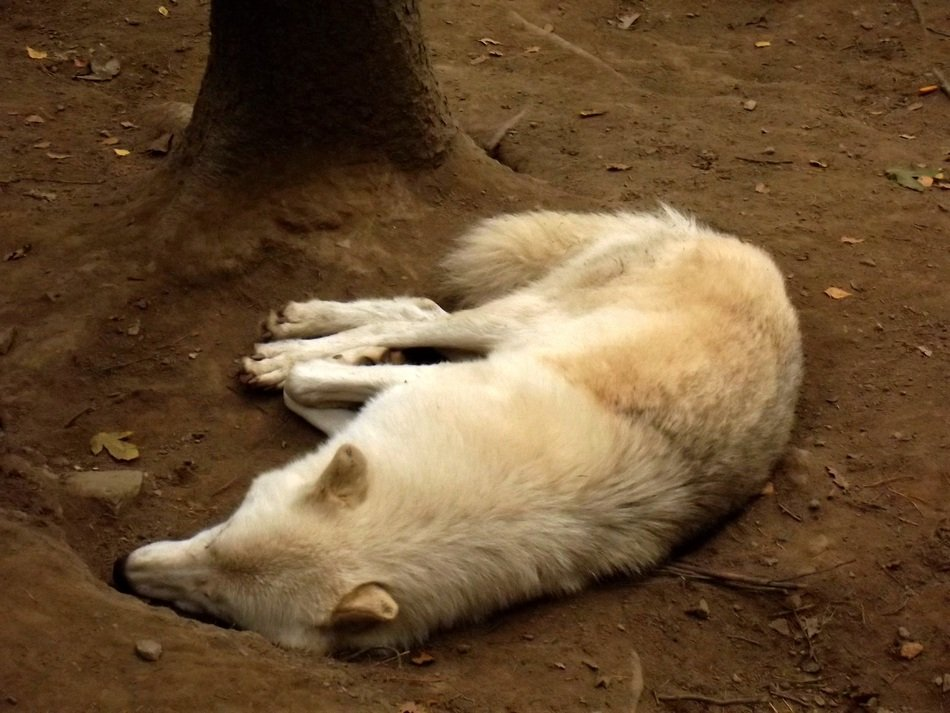white wolf sleeping in the zoo