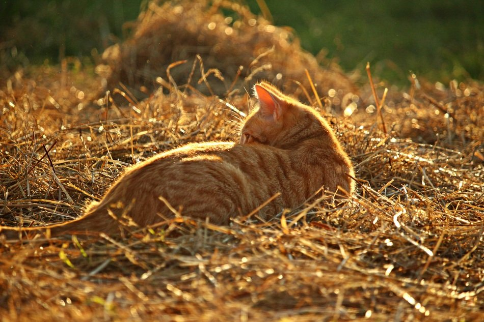 young red cat playing in straw
