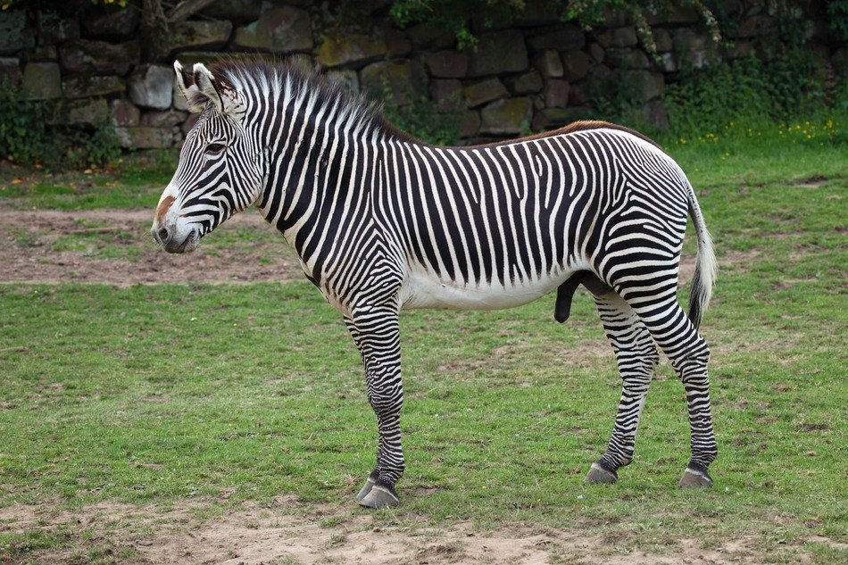 imperial zebra in the zoo