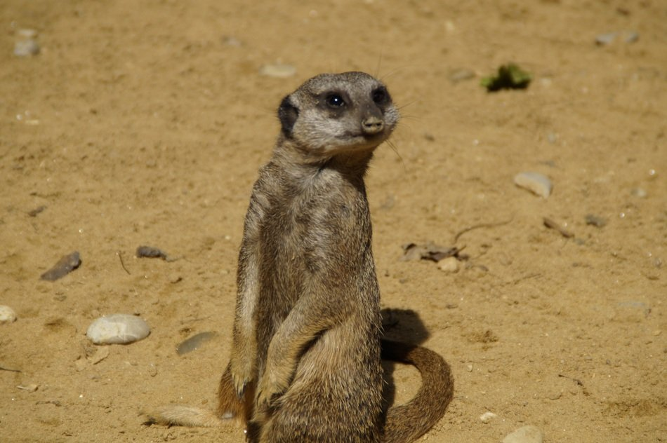 adorable small meerkat