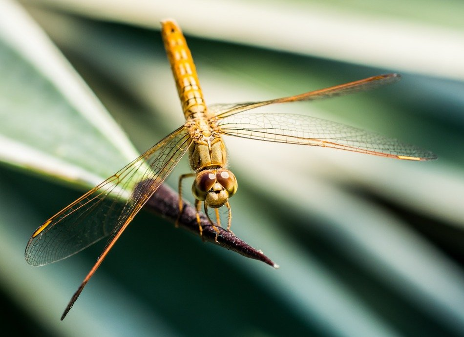 yellow gold dragonfly on the blade of grass