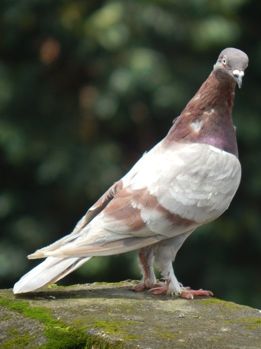 curious indian pigeon