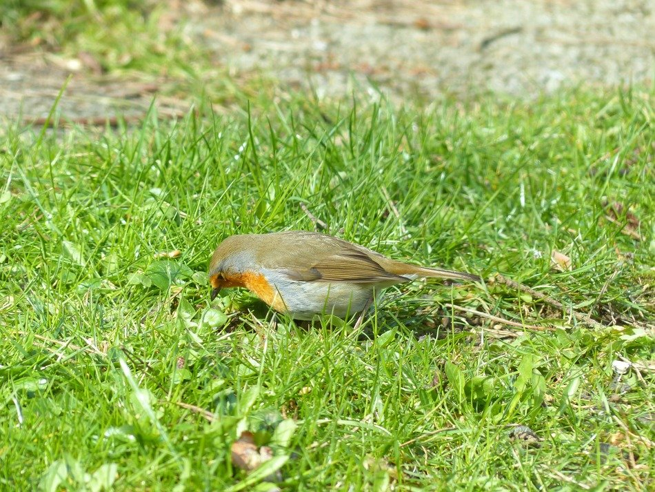 robin on the meadow