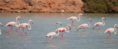 flock of white flamingos with pink wings