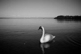 Swan on Lake Constance in monochrome