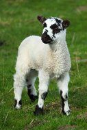 white lamb with black spots
