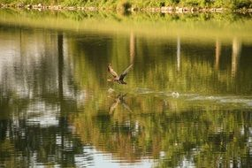 bird soars over the lake