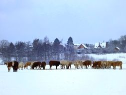 distant view of a herd of cows on a snowy field