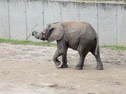baby elephant with stick