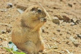 prairie dog nibbles a blade of grass