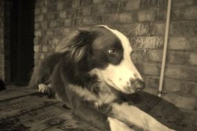 black and white photo of a collie dog