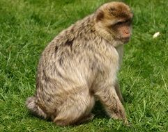 Beautiful and cute barbary ape on the grass