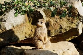 funny meerkat sitting on the rock