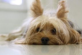 Yorkshire Terrier is resting