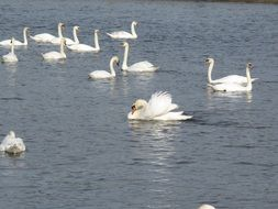 flock of white swans in the river