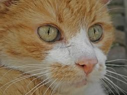 portrait of a red domestic cat