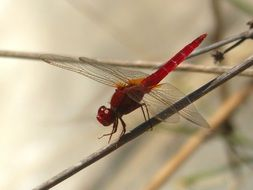 red dragonfly on the tree twig