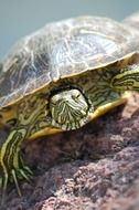 Striped red eared Turtle