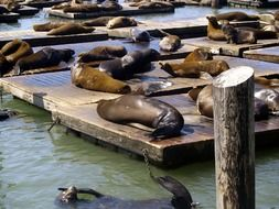 fur seals are lying on wooden planks
