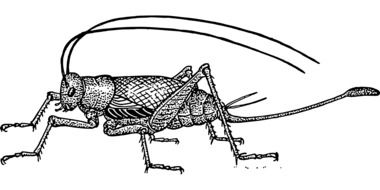 grasshopper drawing with antennae