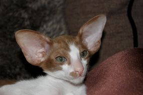 funny oriental shorthair baby cat