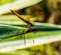 yellow dragonfly on the blade of grass