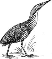 drawing of a standing heron