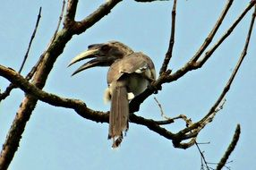 indian grey hornbill on the tree branch