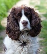 portrait of a cute english spaniel