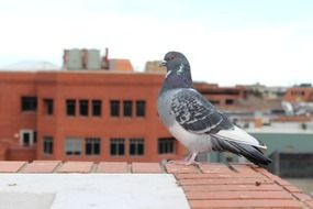 pigeon on city roof