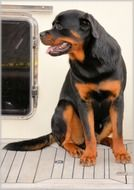 photo of black Rottweiler