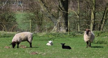 grazing sheep with lambs