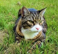 domestic cat is resting on the lawn