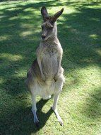 kangaroo stands on its hind legs